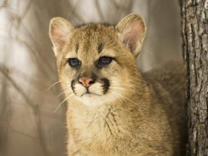Cougar Cub Wallpaper Baby Animals Animals
