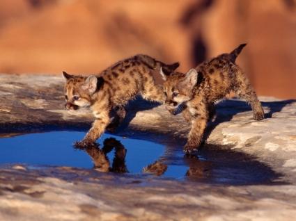 Cougar Cubs Wallpaper Baby Animals Animals