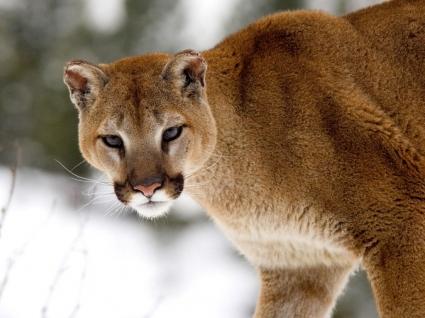 Cougar in Winter Wallpaper Big Cats Animals