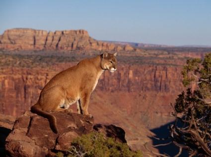 Cougar Wallpaper Big Cats Animals