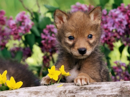 Coyote Pup Wallpaper Baby Animals Animals