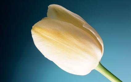 Cream Tulip Wide