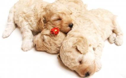 Cute Sleeping Puppies
