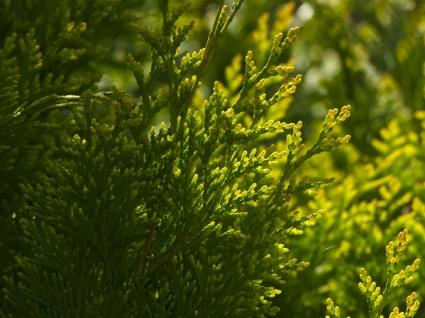 Cypress Wallpaper Plants Nature
