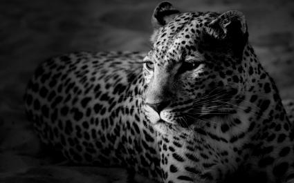 Dark Widescreen Tiger