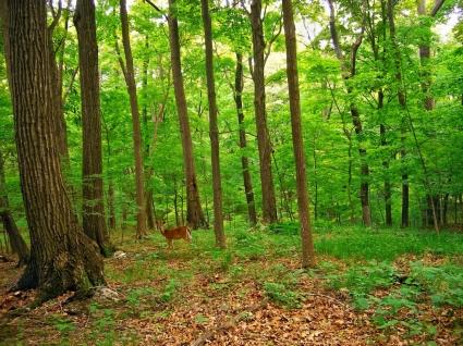 Deer In The Forest Wallpaper Deers Animals