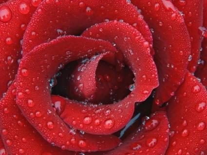 Dewy Rose Wallpaper Flowers Nature