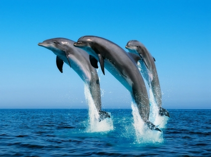 dolphins wallpaper dolphins animals wallpapers in jpg format for