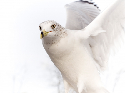 Dove Pure White Bird