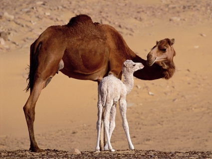 Dromedary Camels Wallpaper Egypt World