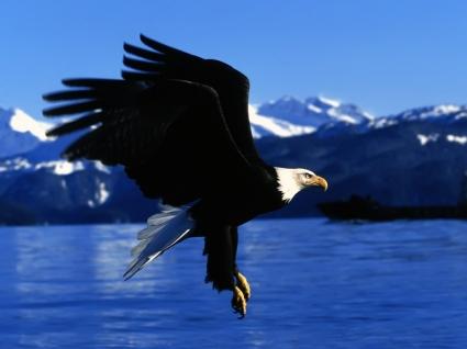Easy Landing Alaska Wallpaper Birds Animals
