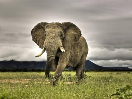 Elephant Wallpaper Elephants Animals