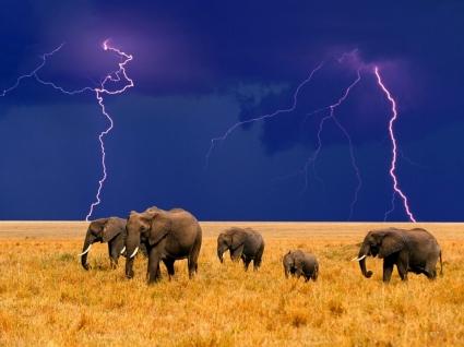Elephants in an Approaching Storm Wallpaper Elephants Animals