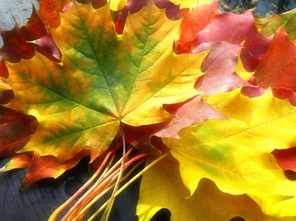 Fall Leaves Wallpaper Autumn Nature