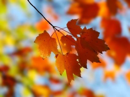 Fall Maple Wallpaper Autumn Nature