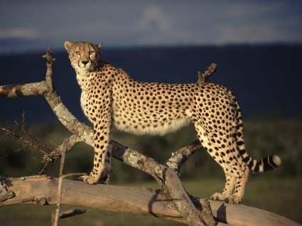 Female Cheetah on the Lookout Wallpaper Big Cats Animals