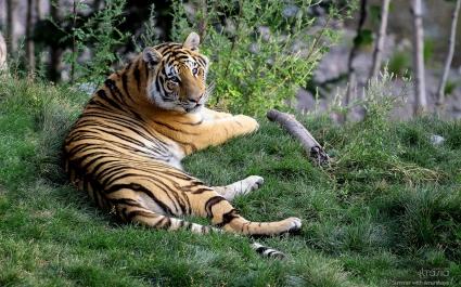 Female Tiger Amurshaya
