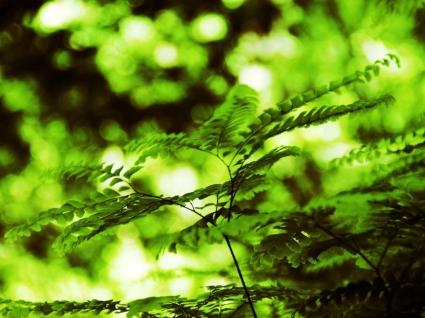 Fern Wallpaper Plants Nature