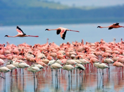 Flamingos Wallpaper Birds Animals
