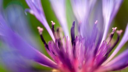 Flower of Purple