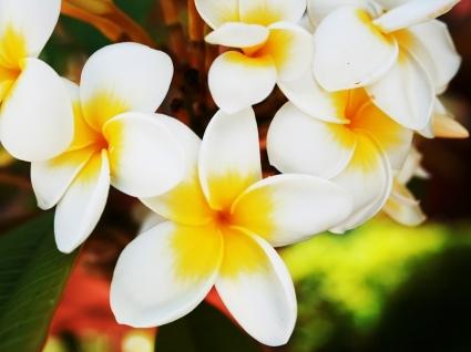 Frangipani Wallpaper Flowers Nature