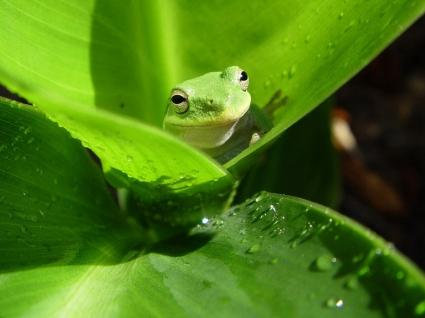 Frog Wallpaper Frogs Animals