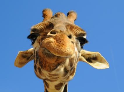 Funny Giraffe Wallpaper Giraffes Animals