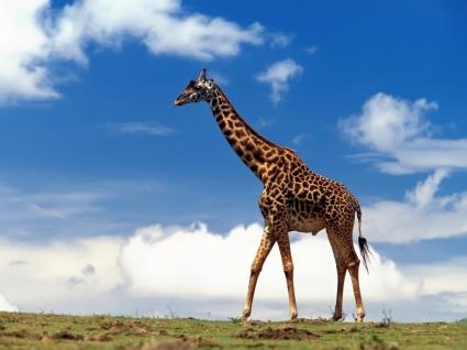 Giraffe Wallpaper Other Animals