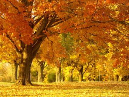 Golden Autumn Tree Wallpaper Autumn Nature