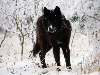 Gray Wolf Cold Stare Wallpaper Wolves Animals