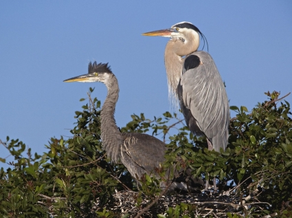 Great Blue Herons at Nest Wallpaper Birds Animals