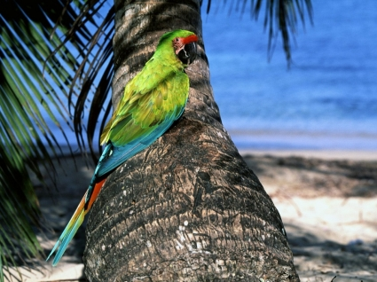 Great Green Macaw Wallpaper Parrots Animals