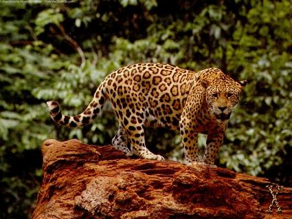 Great Jaguar