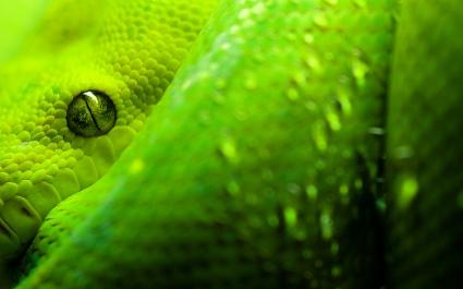 Great Snake Eyes
