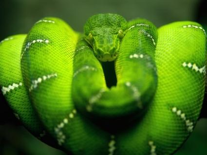 Green Tree Python Wallpaper Snakes Animals