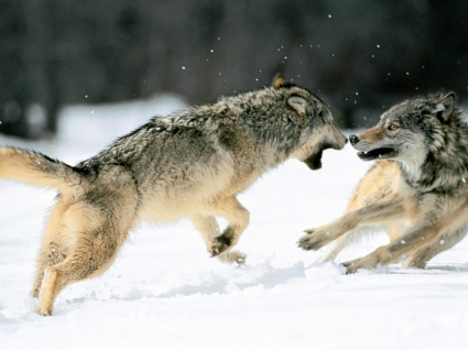 Grey Wolves Wallpaper Wolves Animals