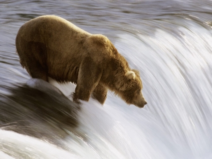 Grizzly Fishing Wallpaper Bears Animals