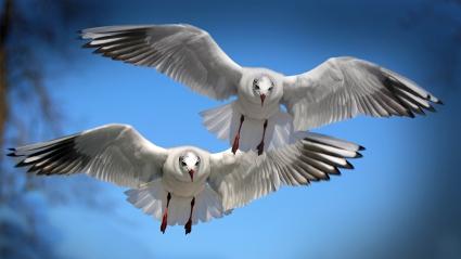Gulls Seabirds