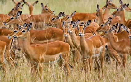 Herd of Female Impala Masai Mara Kenya
