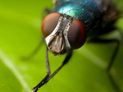 House fly Wallpaper Insects Animals