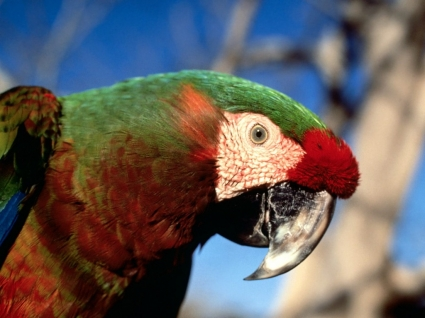 Hybrid Macaw Wallpaper Parrots Animals
