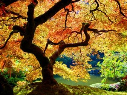 Japanese Maple Wallpaper Plants Nature