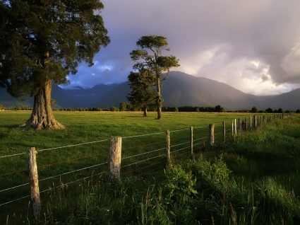 Kahikatea Trees Wallpaper New Zealand World