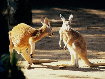 Kangaroo Conversation Australia