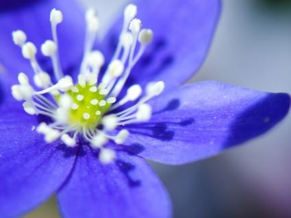 Kidneywort Wallpaper Flowers Nature
