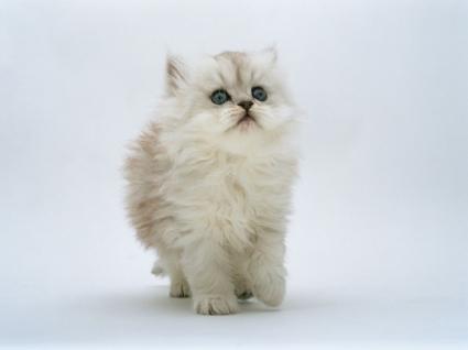 Kitten Wallpaper Cats Animals