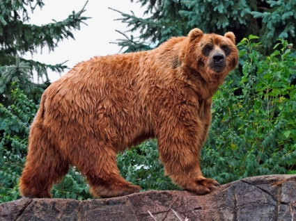 Kodiak Bear Wallpaper Bears Animals