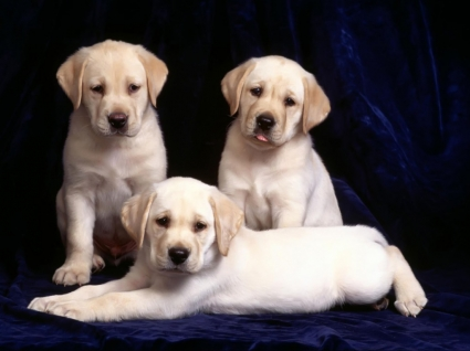 Labrador cubs Wallpaper Dogs Animals