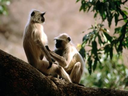 Langur Monkeys Wallpaper Other Animals