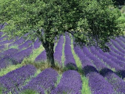 Lavender Field Wallpaper Flowers Nature